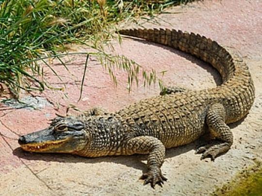 Вот так внезапность: наОдесчине из«хрущевки» выпал крокодил