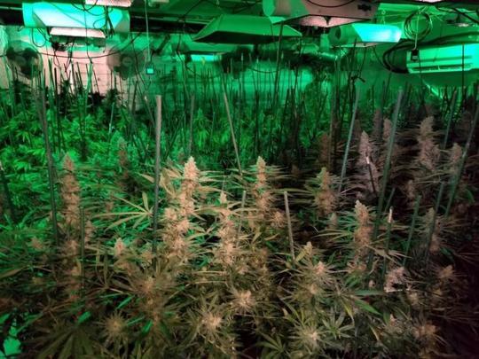 Украинку арестовали вСША завыращивание марихуаны на $1,5 млн