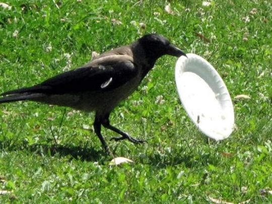 Изверги-птицеводы: во Франции ворон заставляют убирать мусор