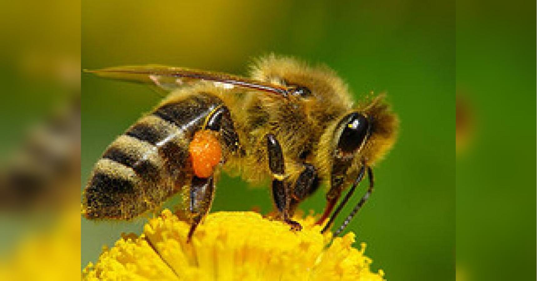 Пчелы фото картинки и описание