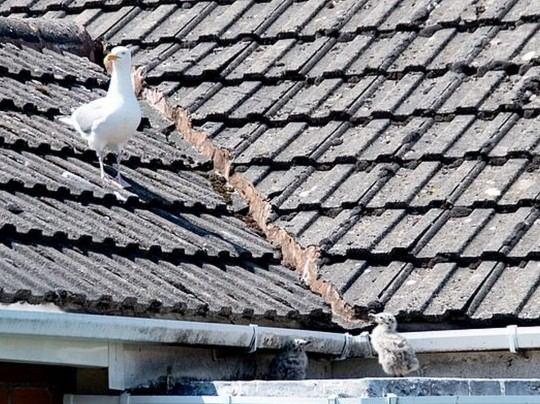 Чайки на крыше