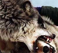 Что делать если на тебя напали волки