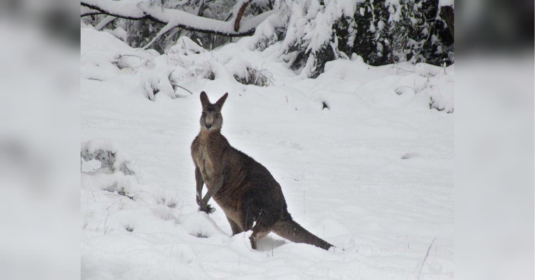 """Результат пошуку зображень за запитом """"австралия кенгуру в снегу"""""""