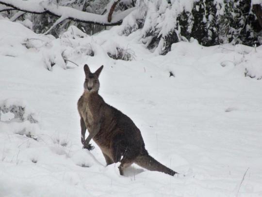Кенгуру устроили скачки взаснеженной Австралии