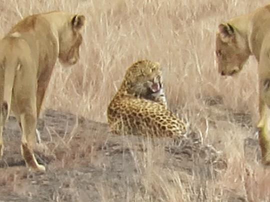 Леопард и львы