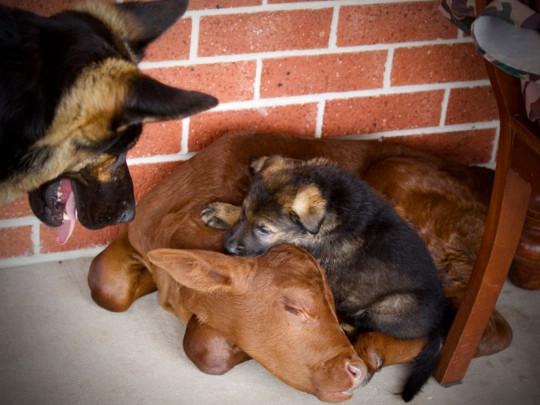 Теленок, овчарка и щенок