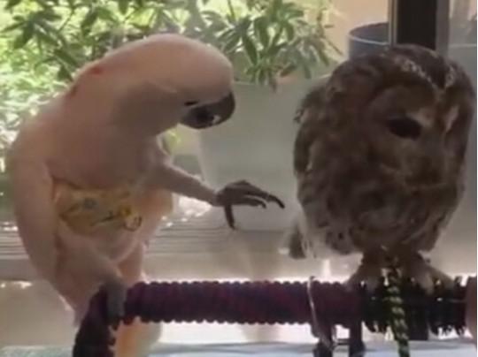 Попугая и сова