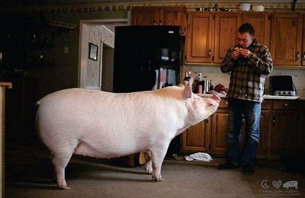 ВКанаде купленный вдом мини-пиг превратился в300-килограммовую свинью