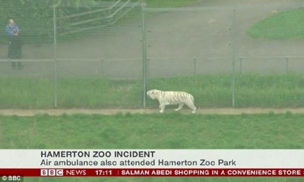 Тигр напал насмотрительницу вбританском зоопарке