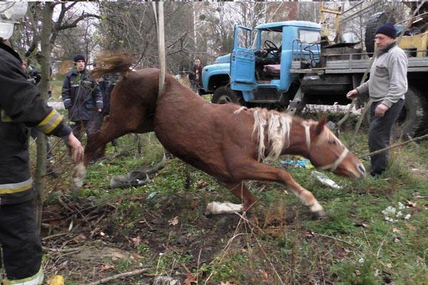ВЖитомире горожане и cотрудники экстренных служб едва достали коня, застрявшего взаброшенном люке
