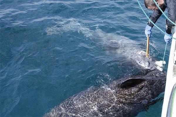 лишено касатки в северном ледовитом океане добавлением шерсти или