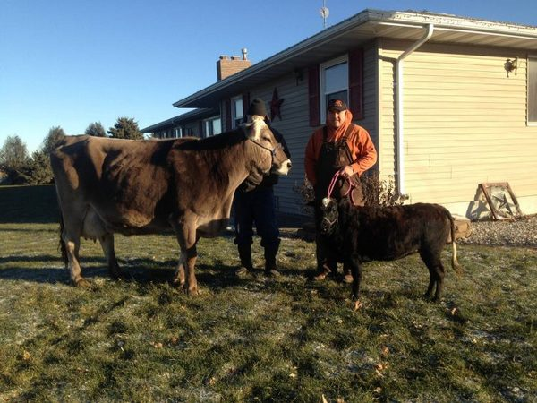 Американский фермер разводит коров величиной ссобаку