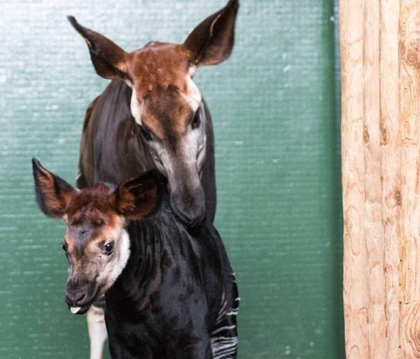 Жирафа влондонском зоопарке назвали именем невесты принца Гарри