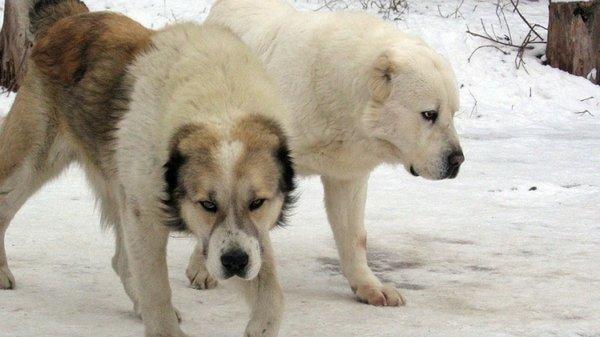 ВОдесской области три алабая едва нерастерзали женщину