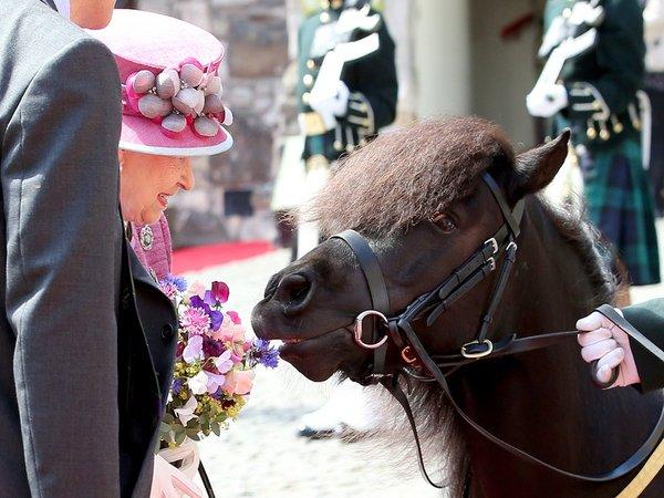 """""""Самый невежливый пони Шотландии"""" снова причинил неприятности королеве Елизавете"""