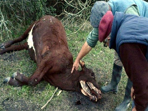 Инопланетяне или чупакабра: в Аргентине ищут объяснения странной гибели коров
