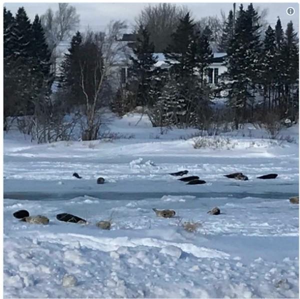 ВКанаде десятки заблудившихся тюленей пробрались вгород